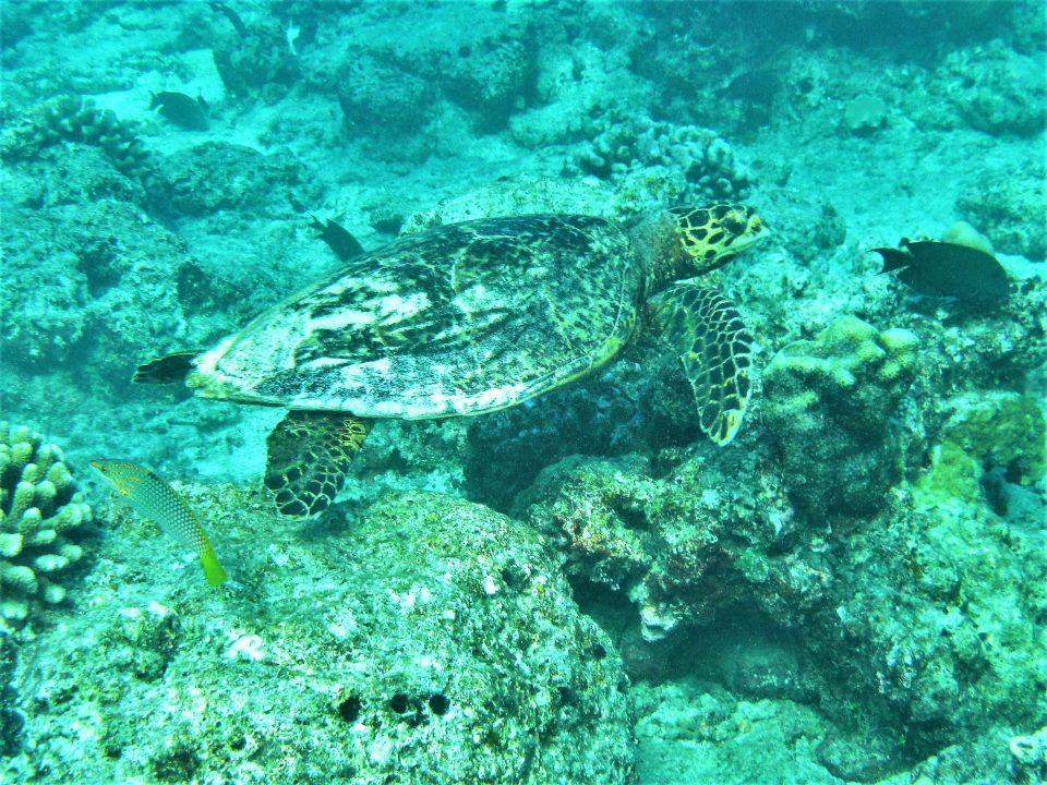 Malediven Schnorcheln Schildkröte