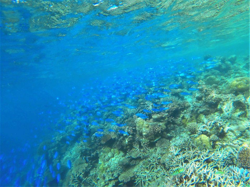 blauer Fischschwarm