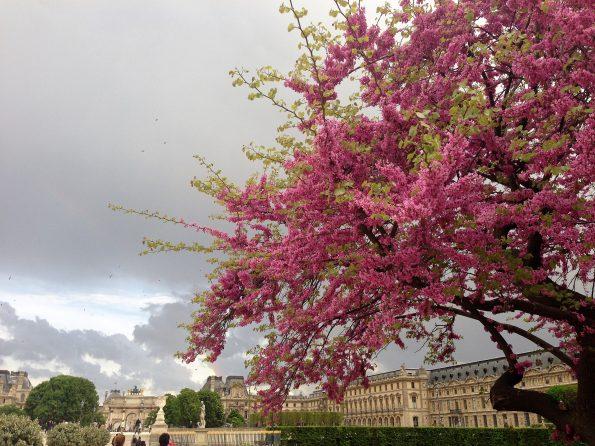 Baum mit Blühten vor Louvre