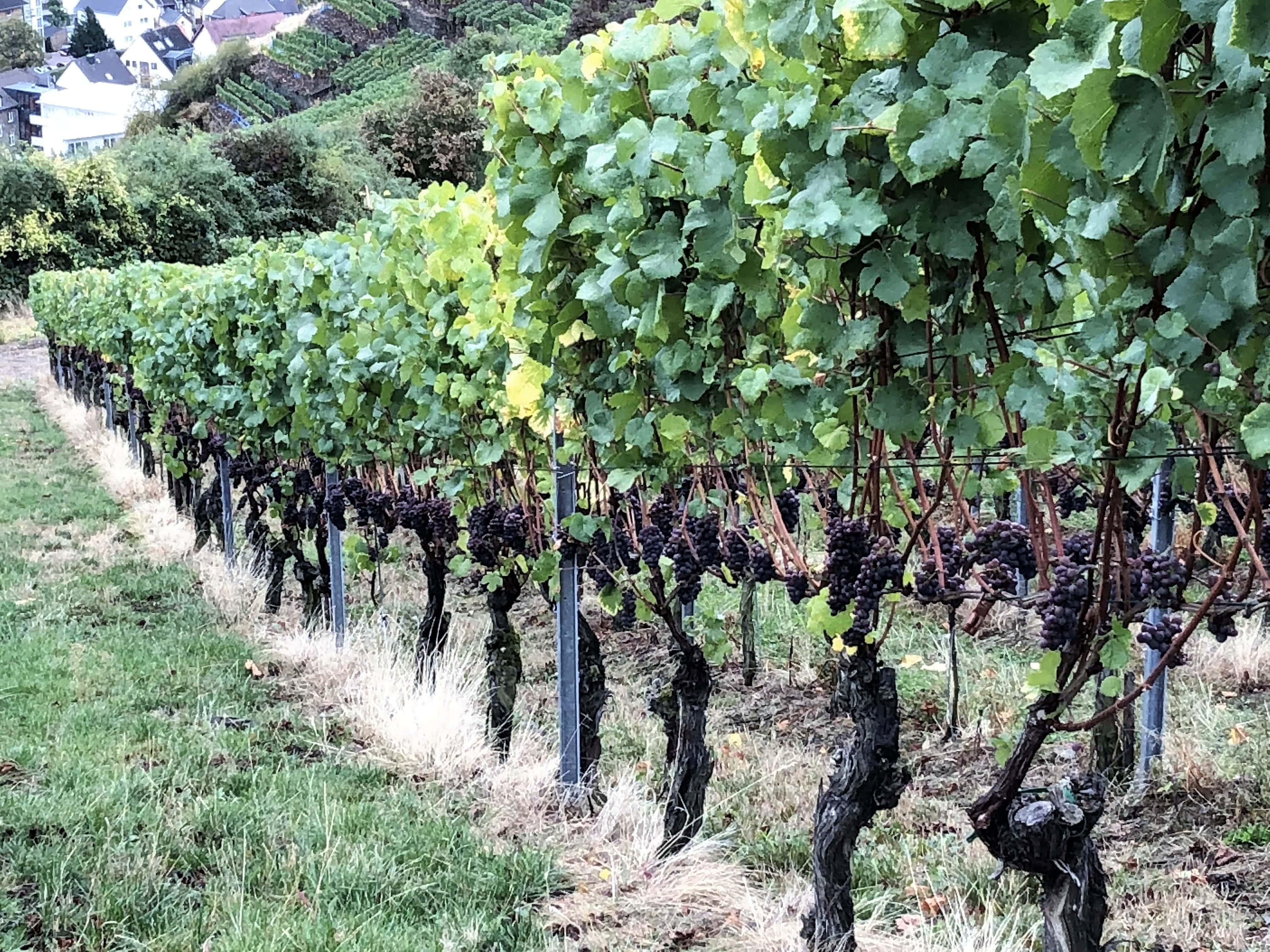 Weinberg Rotweinwanderweg